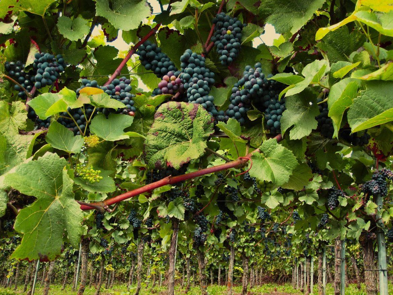 vines-2546056_1280
